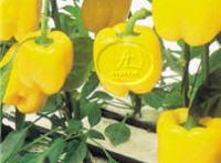Тепличные комплексы в Израиле, выращивание перца