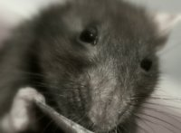В Израиле ученые лечат алкогольную зависимость у крыс.