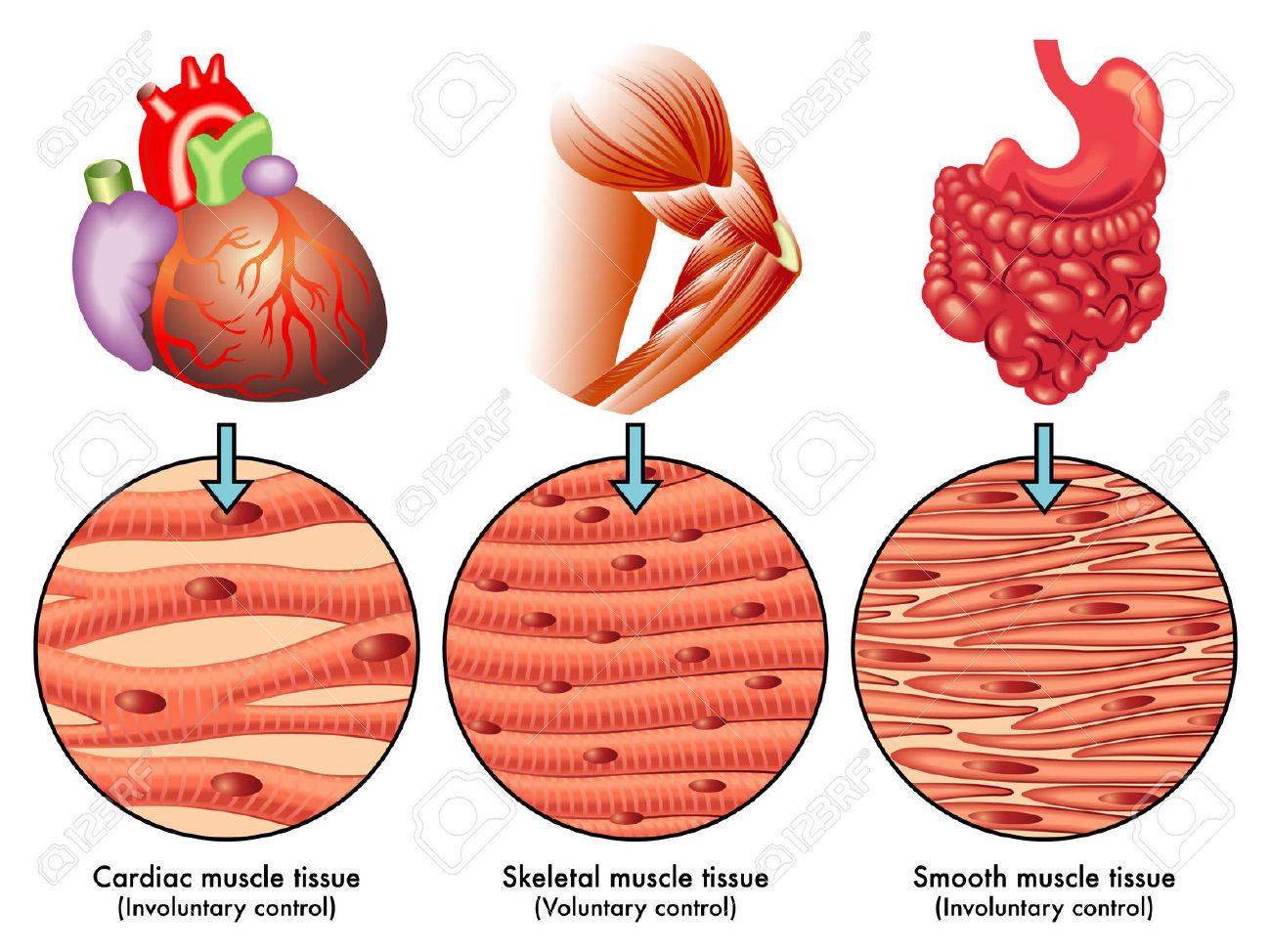 cardiac muscle tissue diagram labeled gm 7 pin trailer wiring funciones tipos y propiedades del tejido muscular