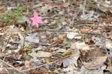 A flor da cebola braba.