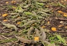 Caminar entre 25 mil iguanas