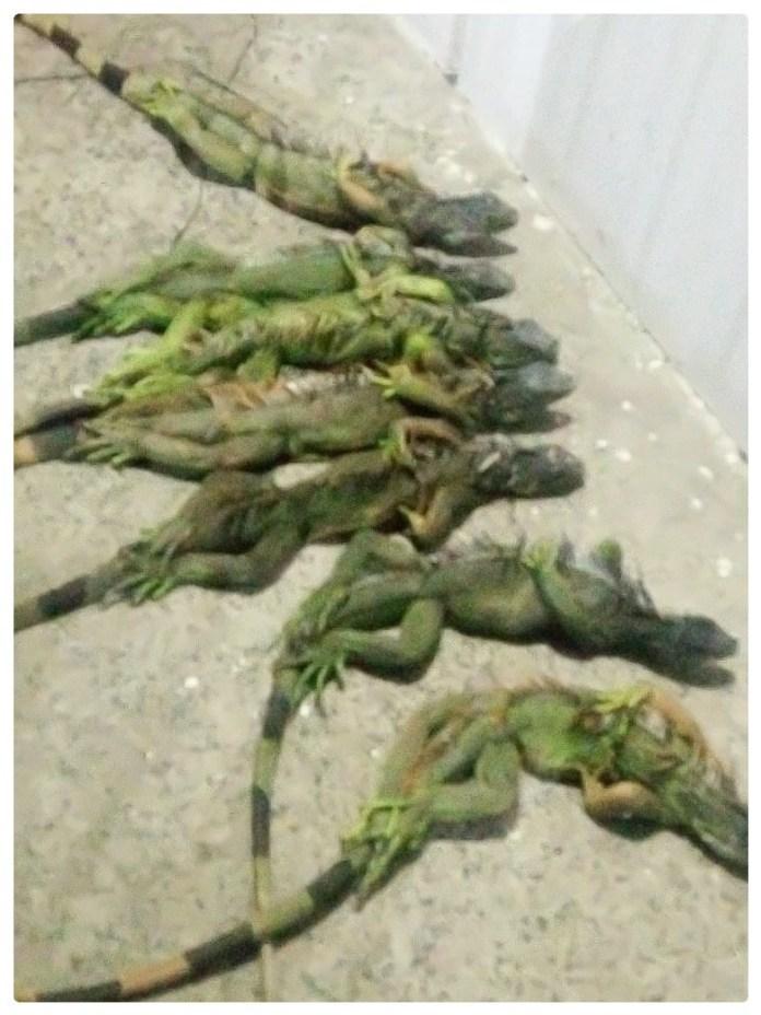 Traficaba 110 iguanas en ocho cajas; fue detenida 2b077cfa 2122 4e2c bb43 4441c369674d