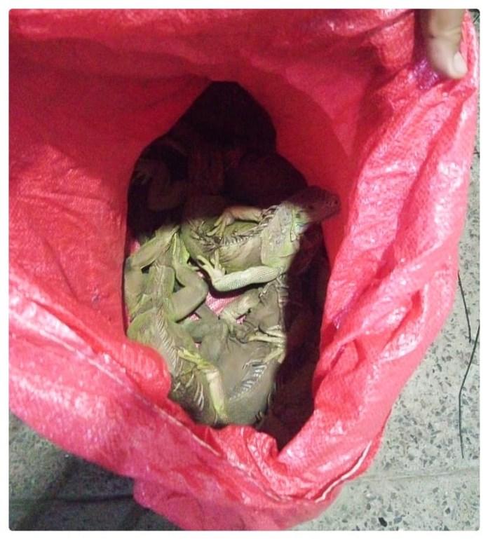 Traficaba 110 iguanas en ocho cajas; fue detenida fea45464 dd42 4230 91da 953703baf693