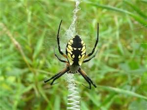 Black & Yellow Garden Spider Joplin MO