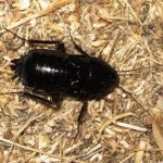 Oriental Roach Joplin MO