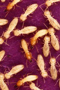 Termite Workers Joplin MO