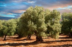 Monopoli, Italy --- Ancient Cerignola olive trees (Olea europaea), Ostuni, Apulia, Italy, Europe --- Image by © Paul Williams - Funkystock/ /imagebroker/Corbis