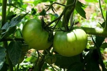 I cani posso mangiare i Pomodori?