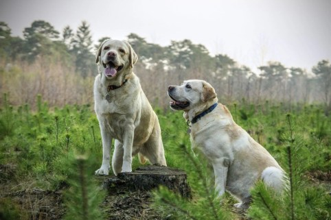 animal labrador animals dogs