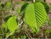 erbe spontanee per il cane le foglie di Lampone