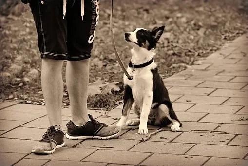 Addestramento del cane con il premio. Il cane lavora per ottenere il pagamento-premio