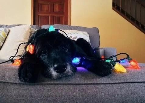 Cani e Natale Il pericolo delle luci ele