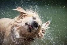 Il cane spesso si scrolla l'acqua di dosso durante il bagno