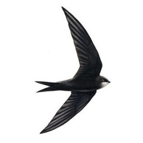 Swift-RSPB