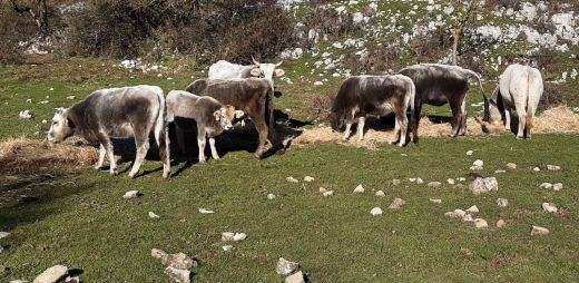 cows-itri-valley-2