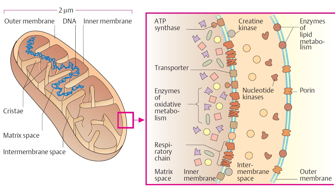 simple mitochondria diagram vmware virtual server structure and functions a level biology revision notes