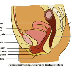 structure of reproductive organs 3 png [ 1952 x 1420 Pixel ]