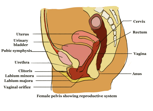 small resolution of structure of reproductive organs 3 png