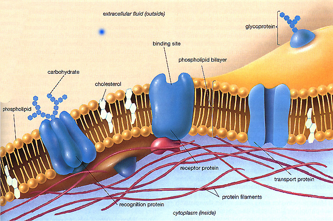 diagram of fluid mosaic model cell membrane 2001 chevy blazer engine the a level notes components