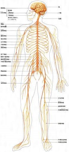 アレクサンダーテクニーク神経