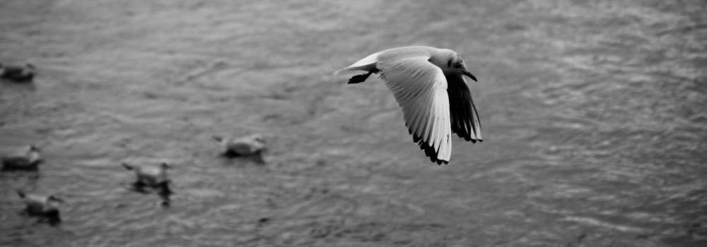 Gull in Flight - Photo by Alex Leonard