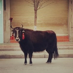 Yak in the streets of Lhasa