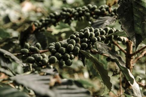 Valle del Cauca, Coffee, Cafetales, Colombia