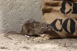 rat eating grain in barn rat control