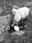 Eat up while you can Mr. Sheep
