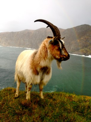 Goat and rainbow... favorite pic so far