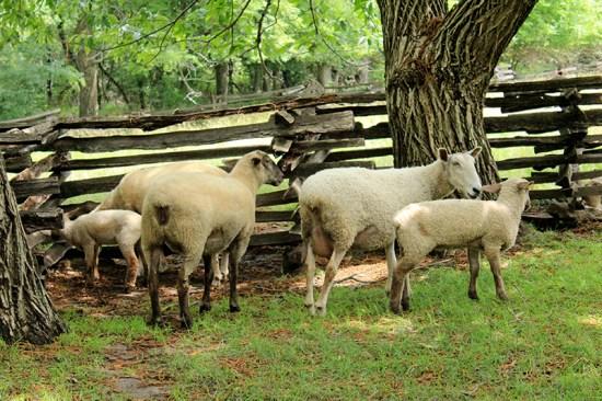 Missouri Town 1855 - Sheeps