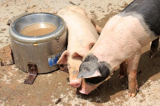 Missouri Town 1855 - Pigs 2