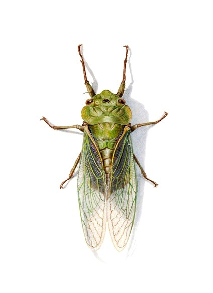 Watercolour painting of the Green Grocer Cicada Cyclochila australasiae by Dianne Emery