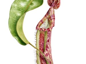 Watercolour painting by Dianne Emery of Nepenthes sp. 42 x 30cm