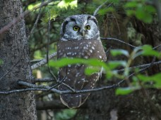 A boreal owl on the Skyline Trail in Jasper National Park. Jasper is Treaty 6 territory, and traditional territory for the Rocky Mountain People, who were descended from Cree, Beaver, Ojibwa, Sekani, Iroquois, and Shuswap people. These people were removed from the land when Jasper National Park was formed in 1907.