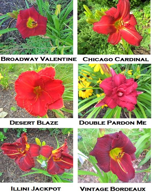 AAA red lilies