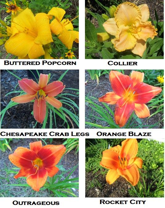 AAA yellow orange lilies