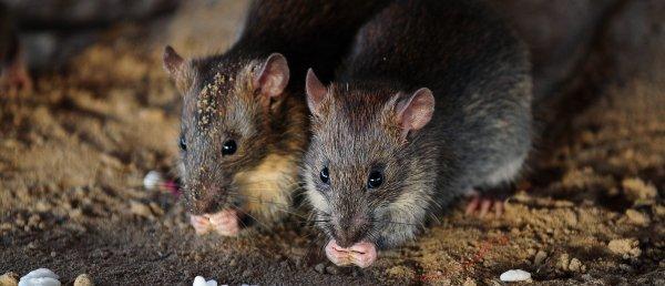 TRac rats