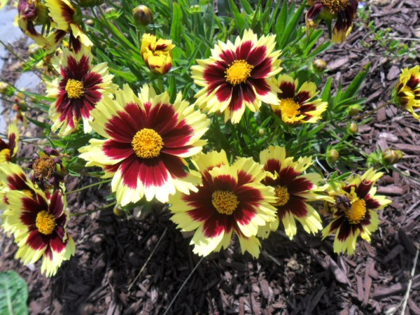 banded coreopsis
