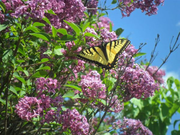 beltane french lilac butterfly2