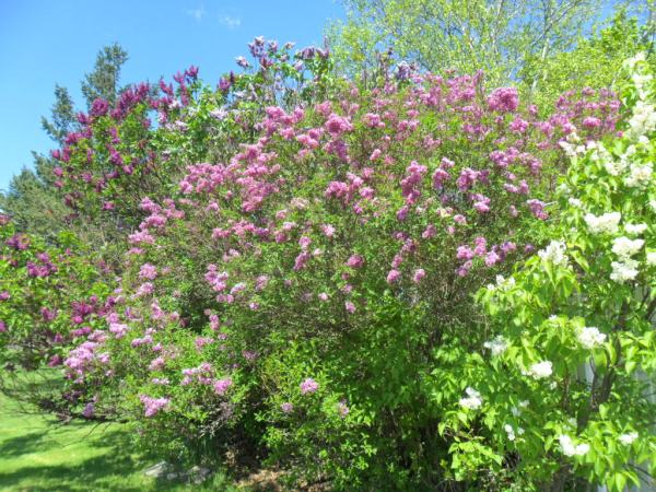 beltane lilac overview2