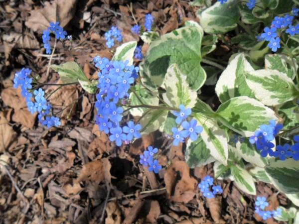 brunera plant2
