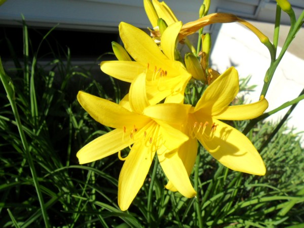 dad lemon lilies