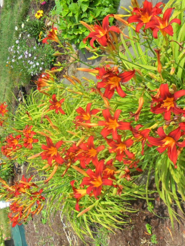 flame lily5