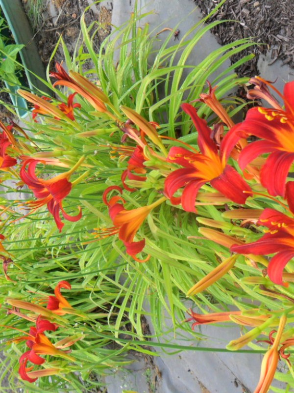 flame lily8