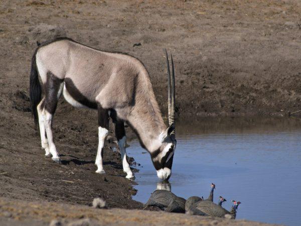 gkun oryx
