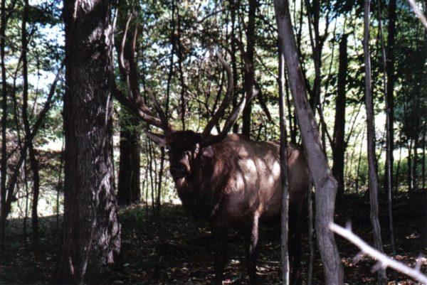 miller elk2