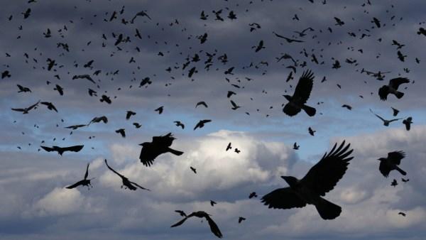 sluagh crows