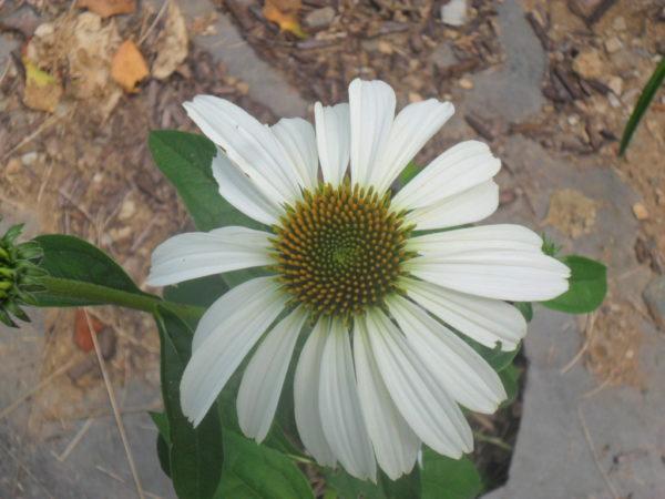 white echinacea1