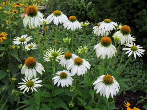 white echinacea3